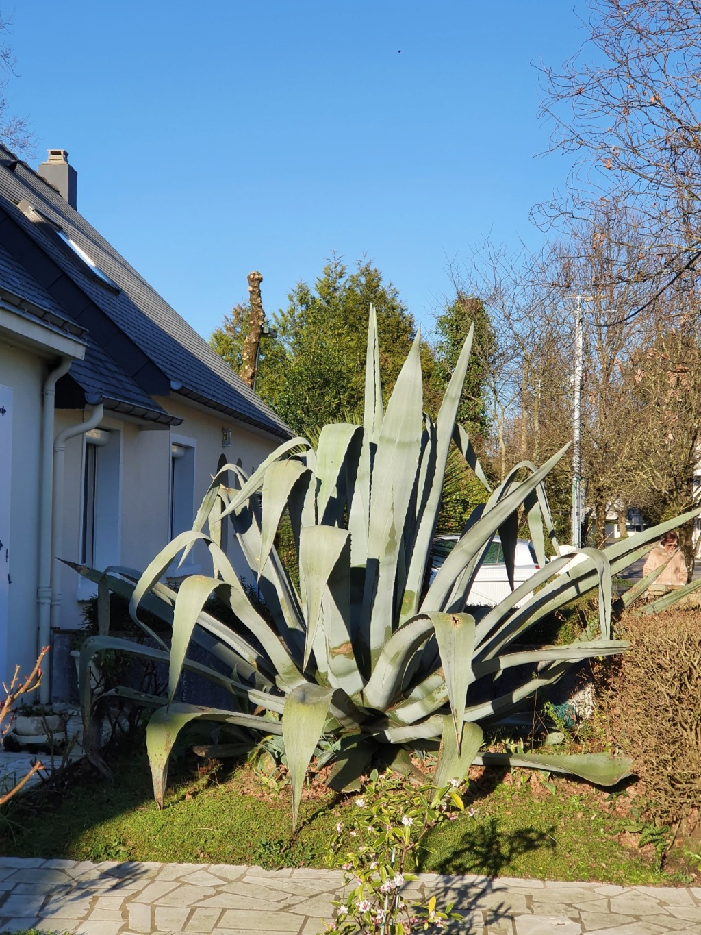 Agave americana  - Page 3 20200225