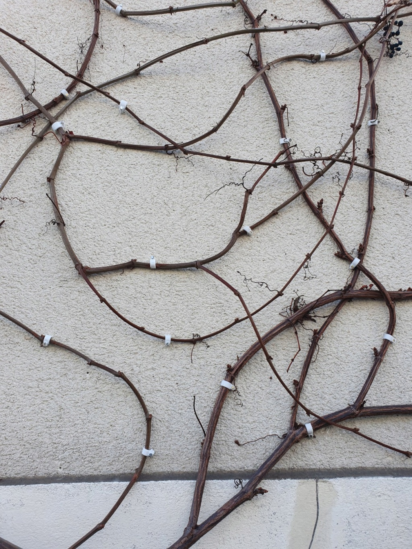 "Parthenocissus quinquefolia ""Star Shower "" - Vigne Vierge panachée 20200229"