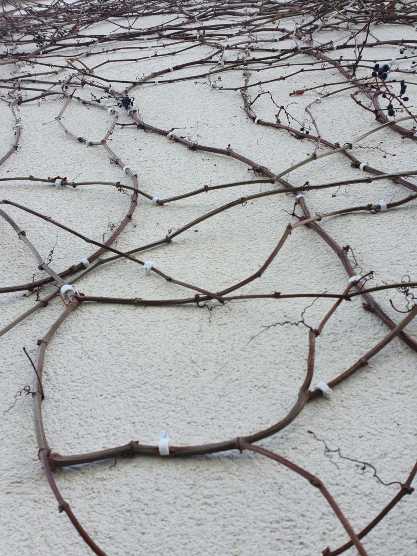 "Parthenocissus quinquefolia ""Star Shower "" - Vigne Vierge panachée 20200230"