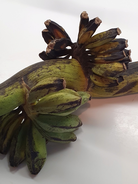 Musa basjoo - bananier du Japon - Page 3 20200234