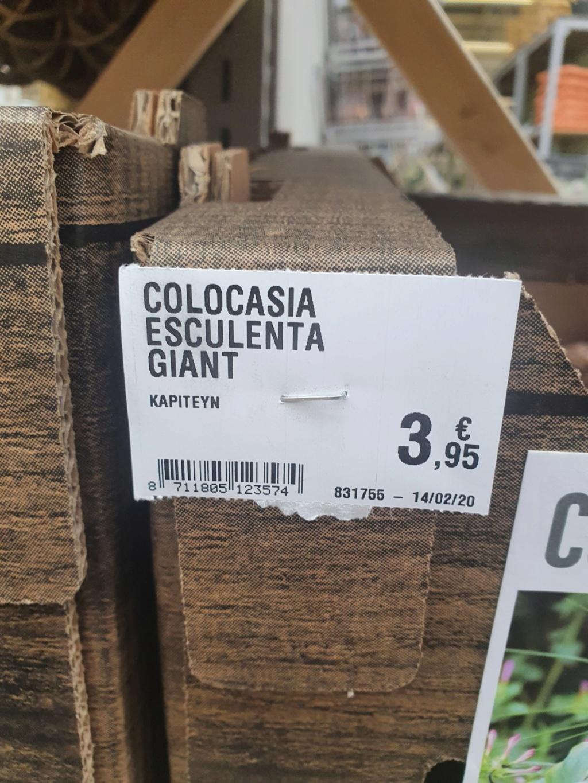 Colocasia esculenta - taro - Page 12 20200239