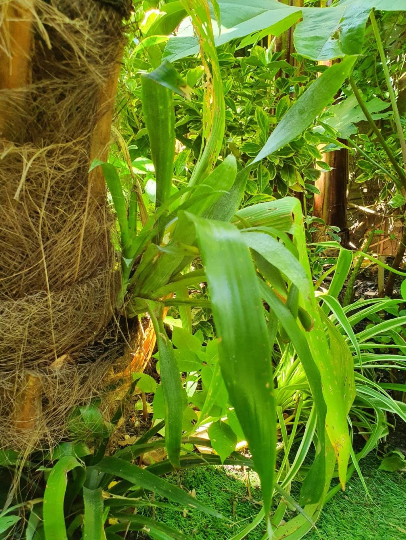 Support à épiphytes et broméliacées rustiques - Page 5 20200247