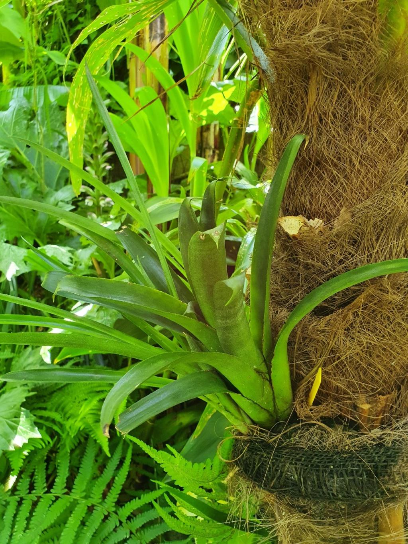 Support à épiphytes et broméliacées rustiques - Page 5 20200249