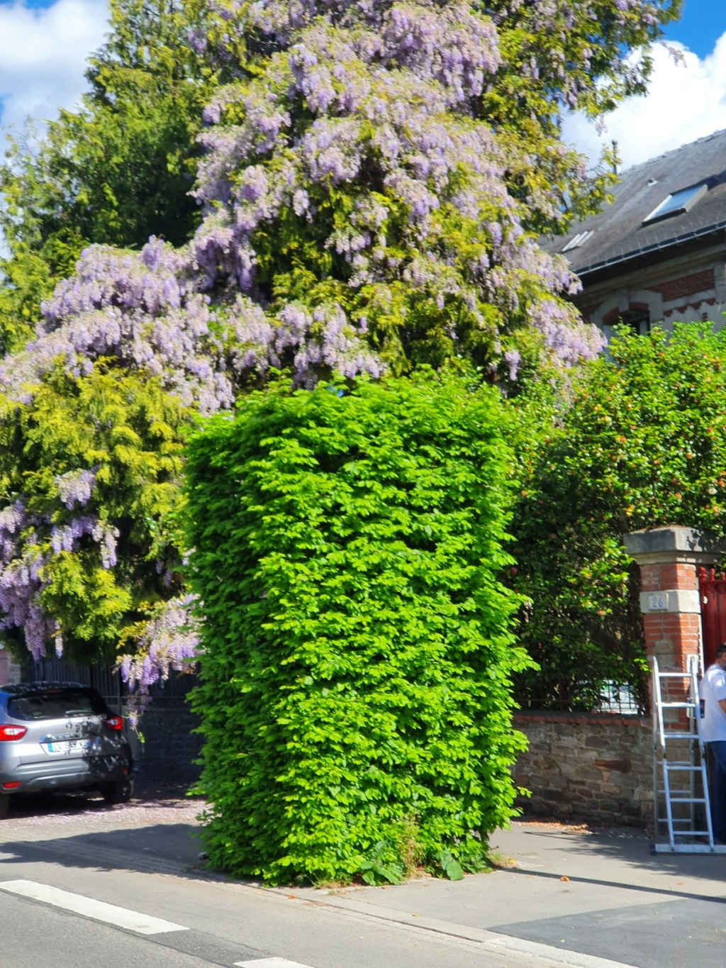 Wisteria - les glycines  - Page 10 20200305