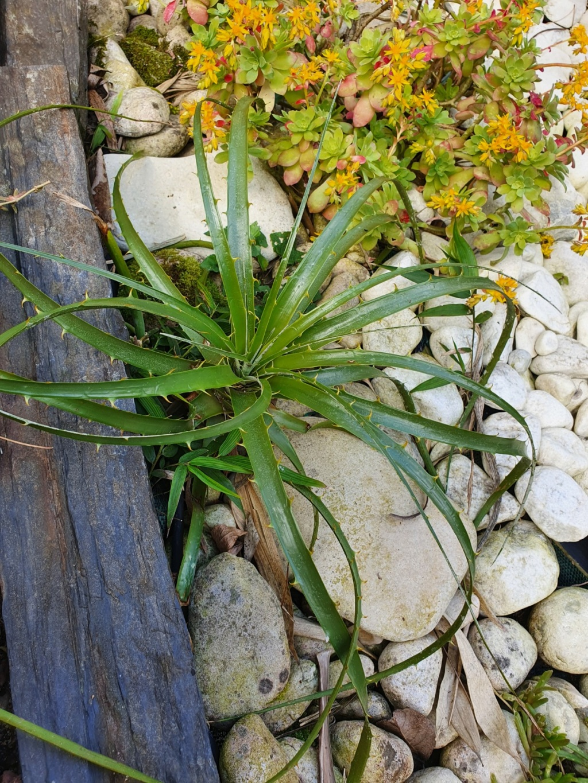 Puya chilensis - Page 2 20200338