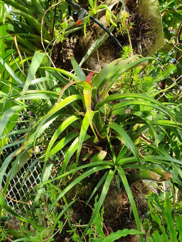 Support à épiphytes et broméliacées rustiques - Page 4 20200343