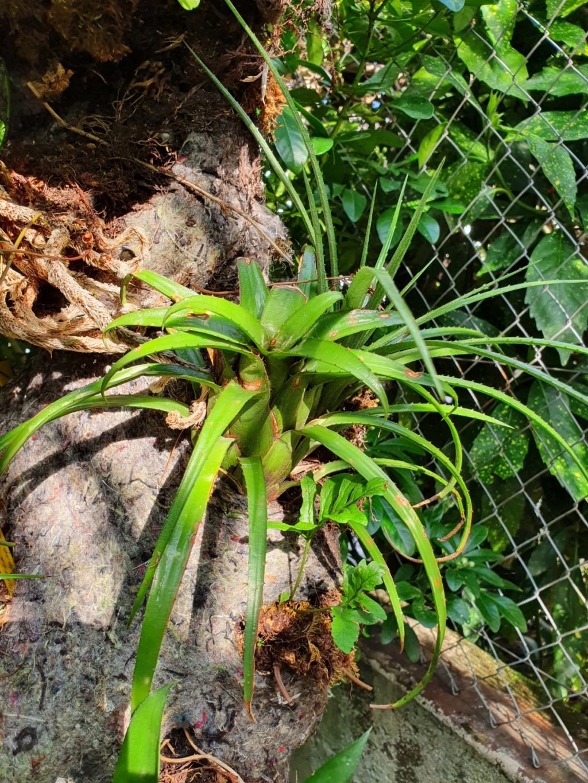 Support à épiphytes et broméliacées rustiques - Page 4 20200347
