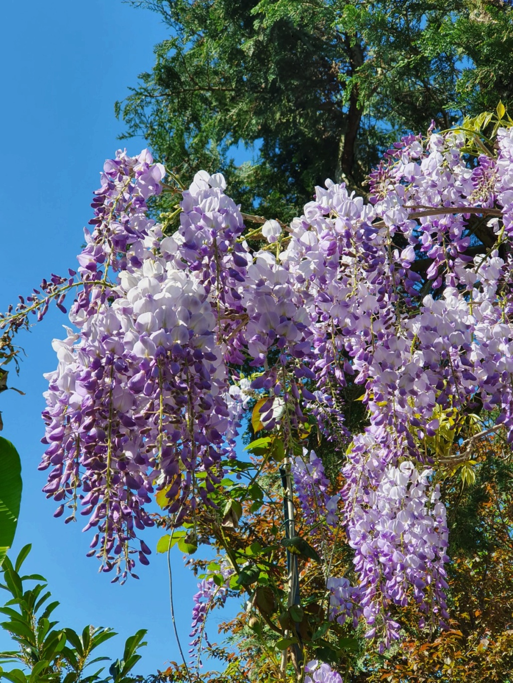 Wisteria - les glycines  - Page 8 20200435