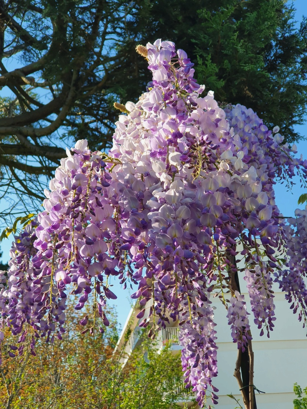 Wisteria - les glycines  - Page 8 20200436