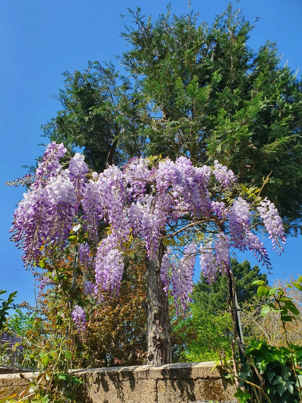 Wisteria - les glycines  - Page 8 20200437