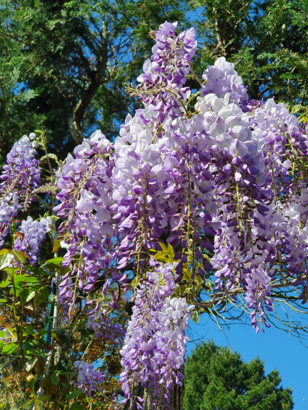 Wisteria - les glycines  - Page 8 20200438