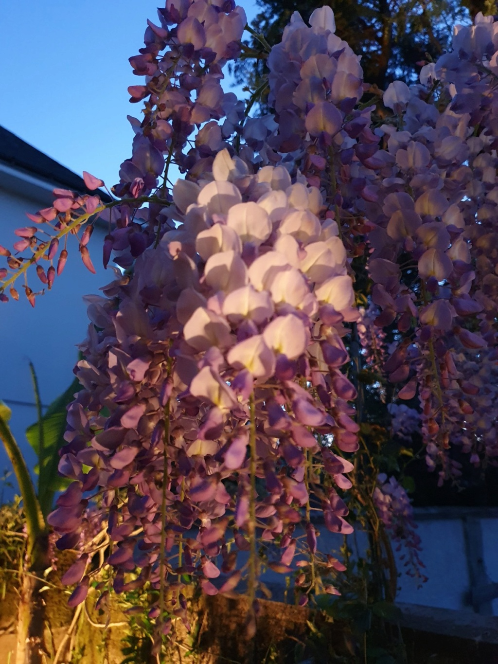 Wisteria - les glycines  - Page 8 20200439
