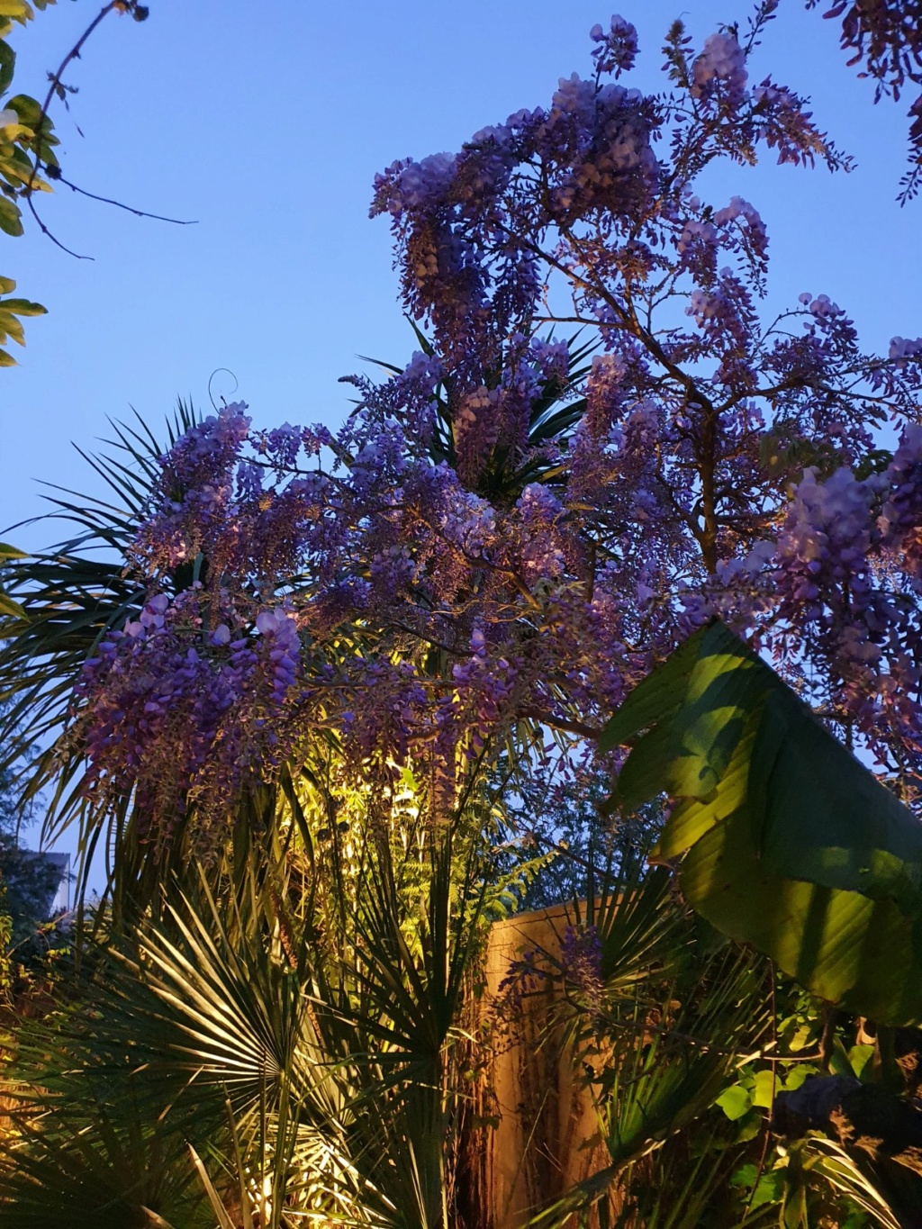 Wisteria - les glycines  - Page 8 20200441