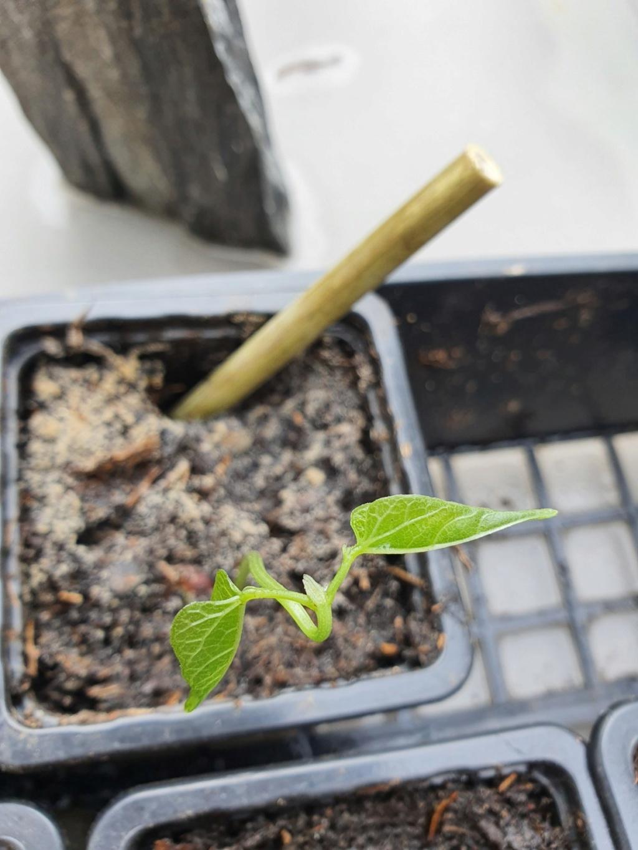 Vigna caracalla =  Cochliasanthus caracalla - Page 3 20200443