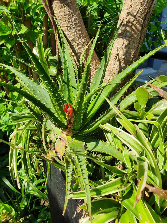 Aloe x spinosissima 20200446