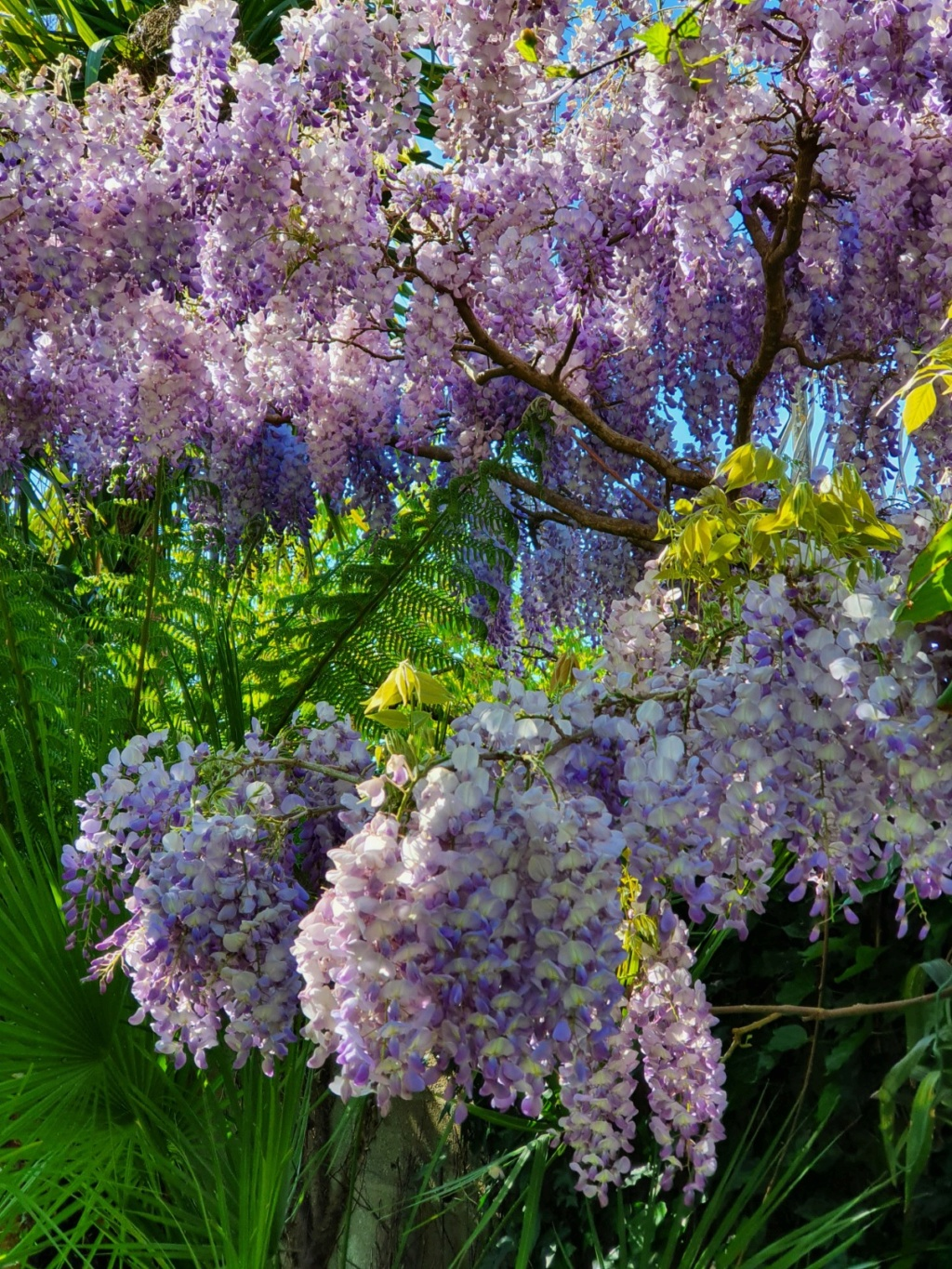 Wisteria - les glycines  - Page 9 20200469