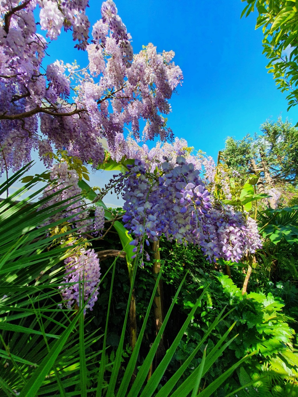 Wisteria - les glycines  - Page 9 20200470