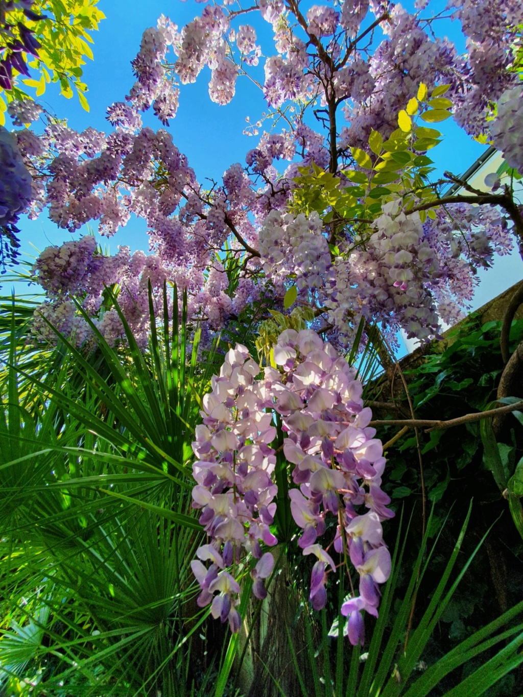 Wisteria - les glycines  - Page 9 20200472