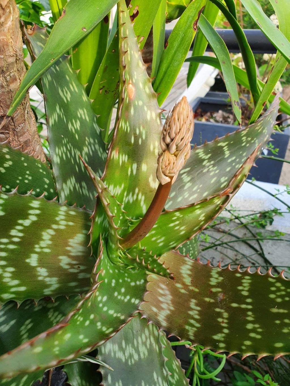 Aloe grandidentata - Page 3 20200494