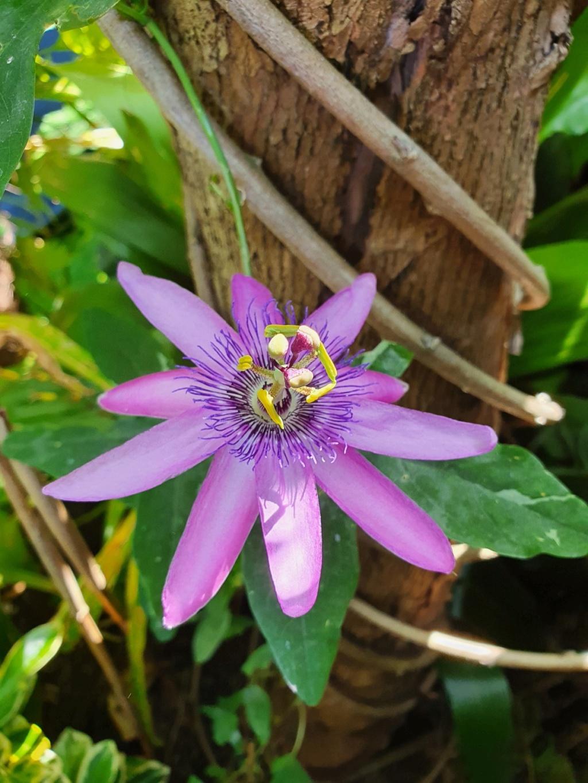 Passiflora x 'Lavender Lady' - Page 2 20200587