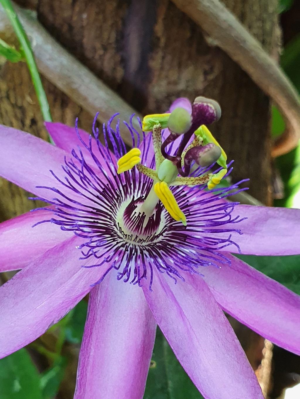 Passiflora x 'Lavender Lady' - Page 2 20200589