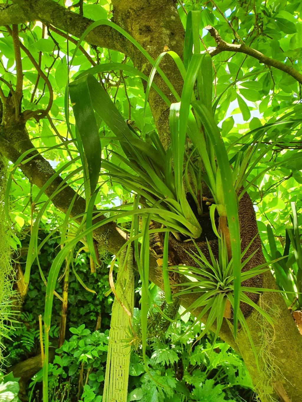 Support à épiphytes et broméliacées rustiques - Page 5 20200597