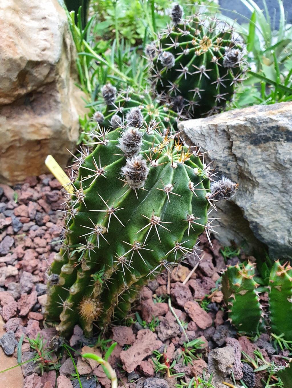 Echinopsis oxygona (= Echinopsis eyriesii v. grandiflora) - Page 3 20200618