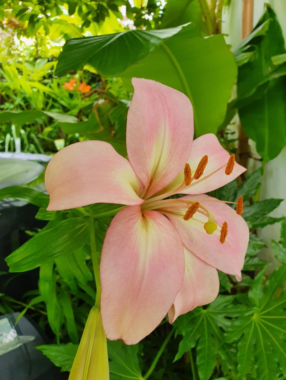 Rémi - Mon (tout) petit jardin en mode tropical - Page 18 20200641