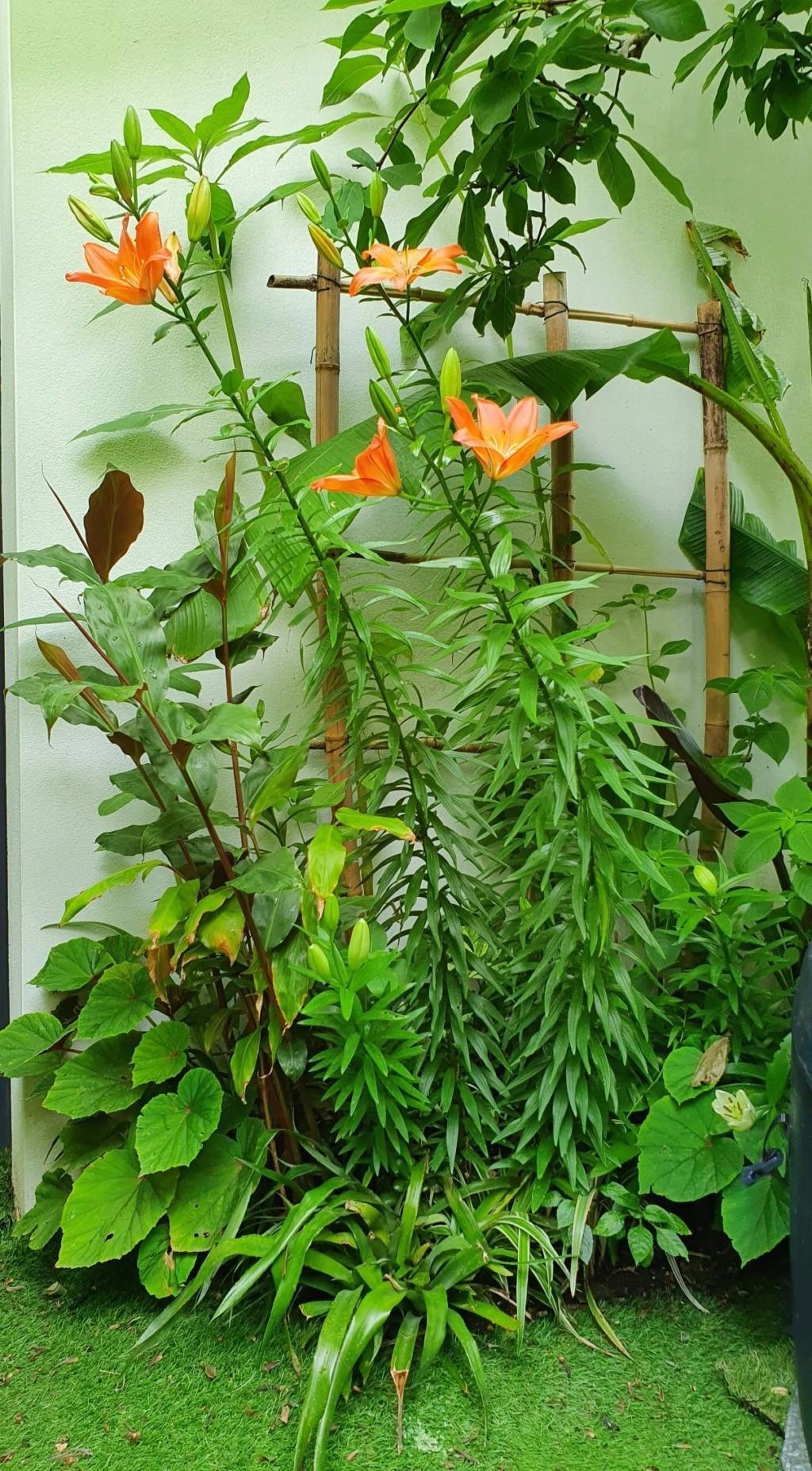 Rémi - Mon (tout) petit jardin en mode tropical - Page 18 20200642