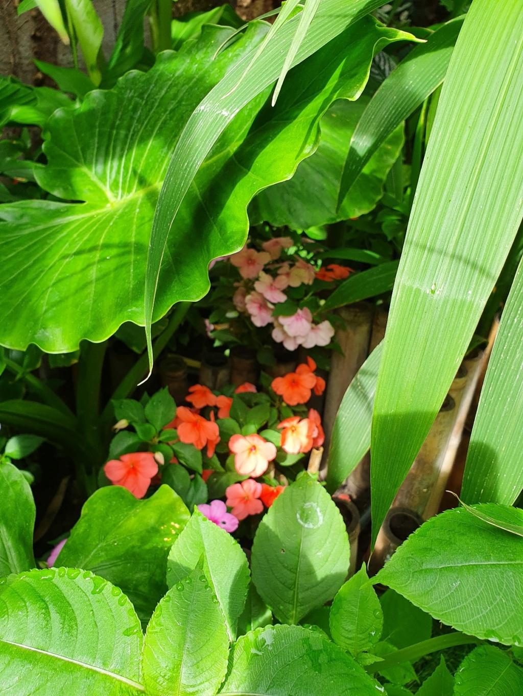 Rémi - Mon (tout) petit jardin en mode tropical - Page 18 20200648