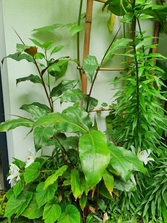Hedychium greenii - Page 2 20200691