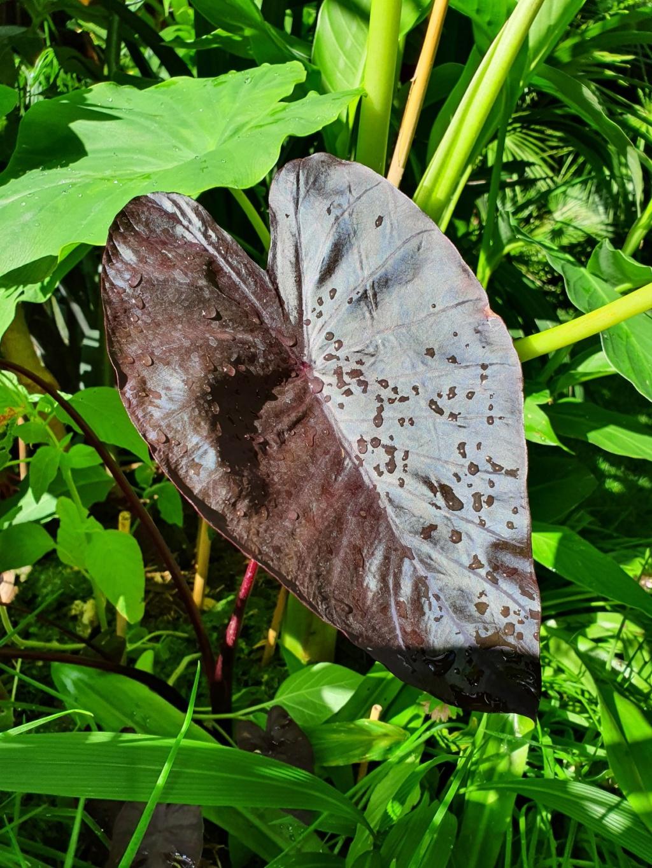 Colocasia esculenta - taro - Page 12 20200731