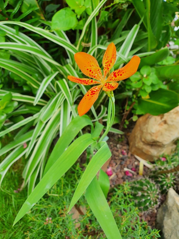 Iris domestica (= Belamcanda chinensis) - Page 3 20200737