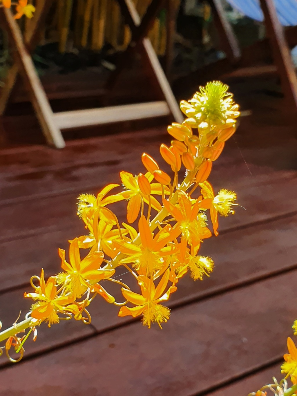 Bulbine frutescens - Page 3 20200757