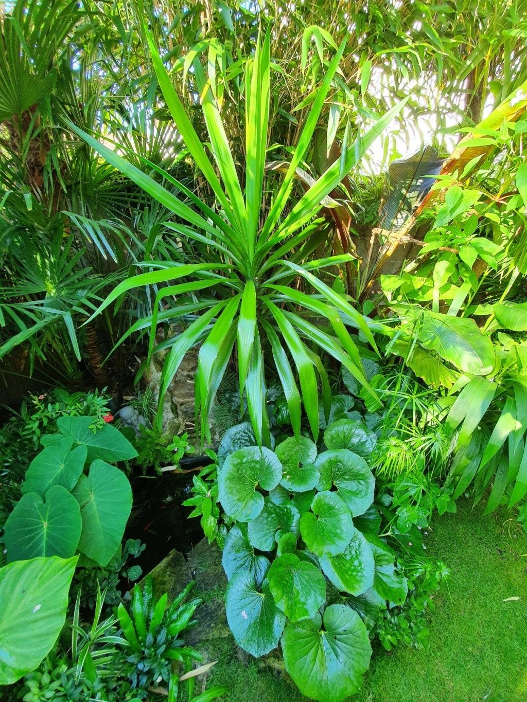 Farfugium japonicum (= Ligularia kaempferi) - Page 5 20200769