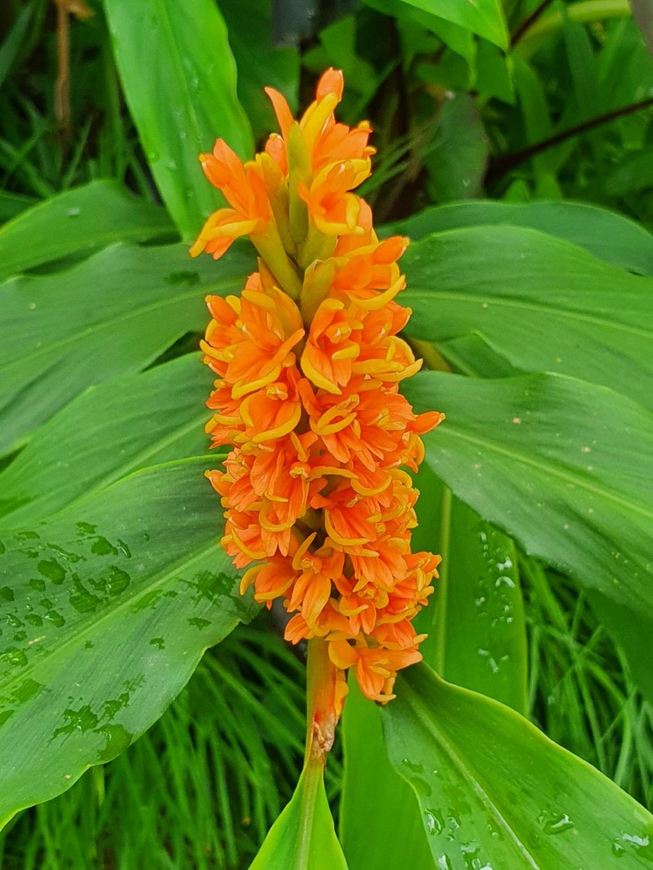 Hedychium densiflorum 'Assam Orange' 20200835