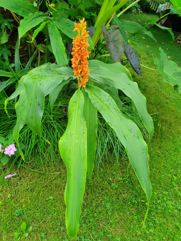 Hedychium densiflorum 'Assam Orange' 20200836