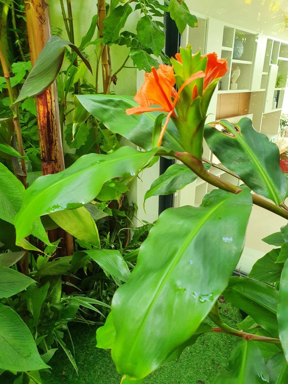 Hedychium greenii - Page 2 20200856