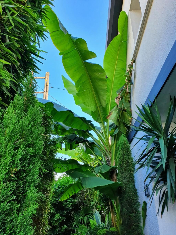 Musa basjoo - bananier du Japon - Page 4 20200877