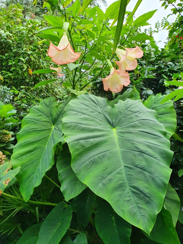 Colocasia esculenta - taro - Page 12 20200882