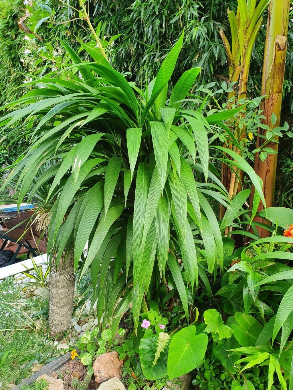 Setaria palmifolia - sétaire à feuilles de palmier - Page 4 20200916