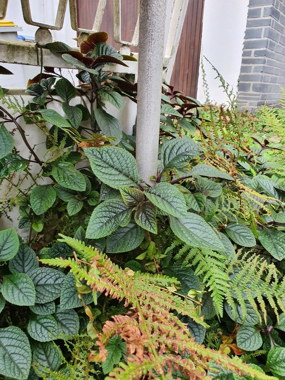 Plante d'intérieur  en extérieur ? - identification  20200941