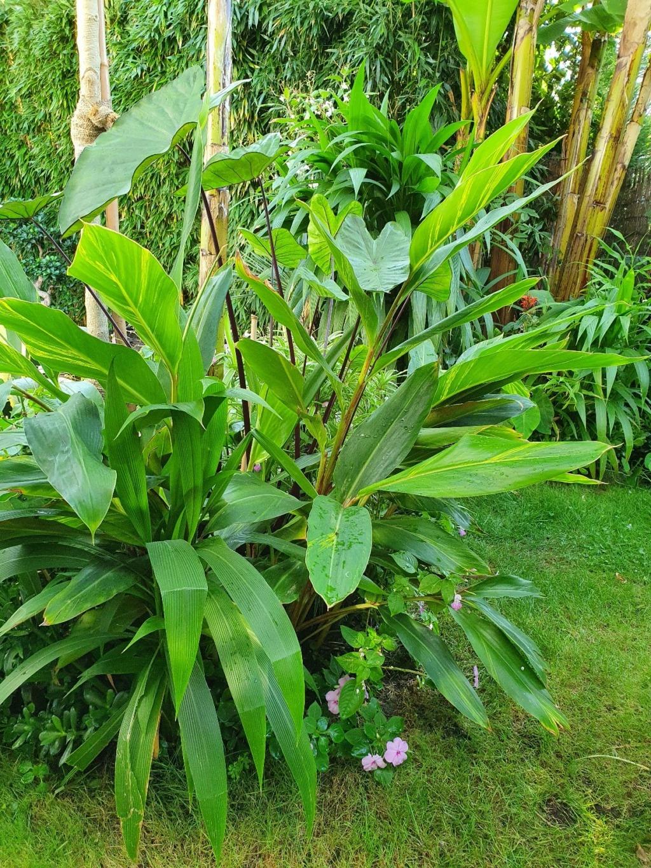 Rémi - Mon (tout) petit jardin en mode tropical - Page 18 20200947