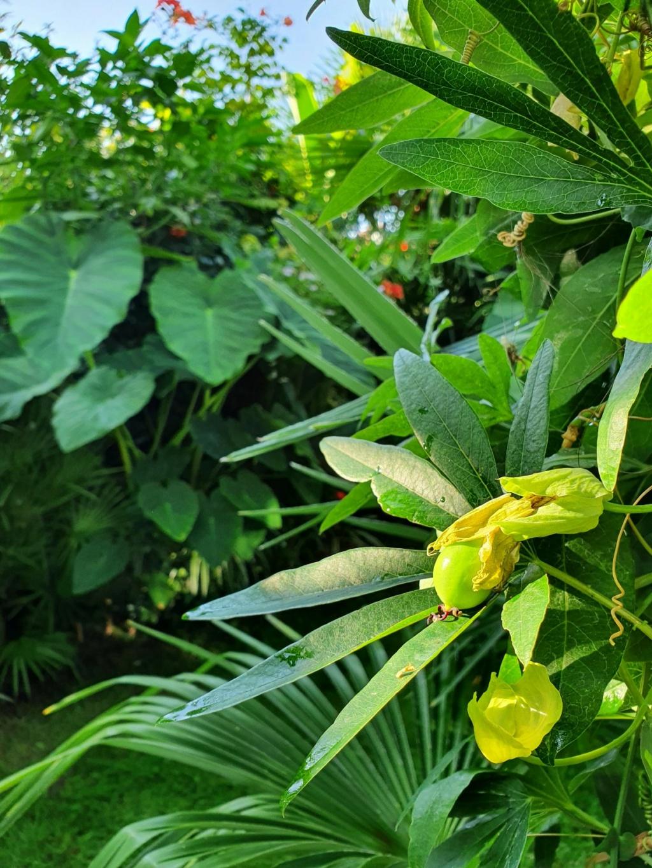 Rémi - Mon (tout) petit jardin en mode tropical - Page 18 20200949