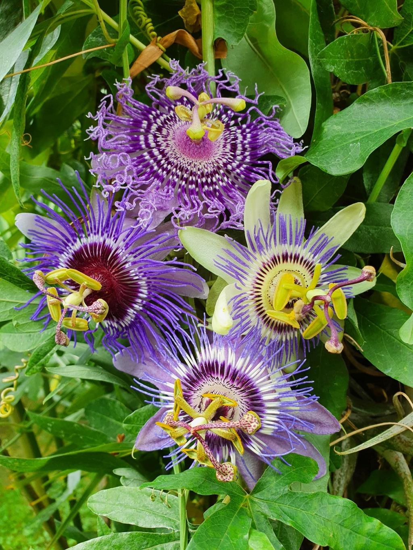 Passiflora 'Purple Haze' - Page 2 20200978