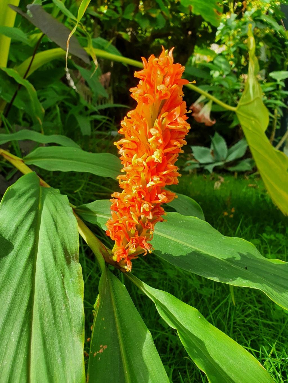 Hedychium densiflorum 'Assam Orange' - Page 2 20201022