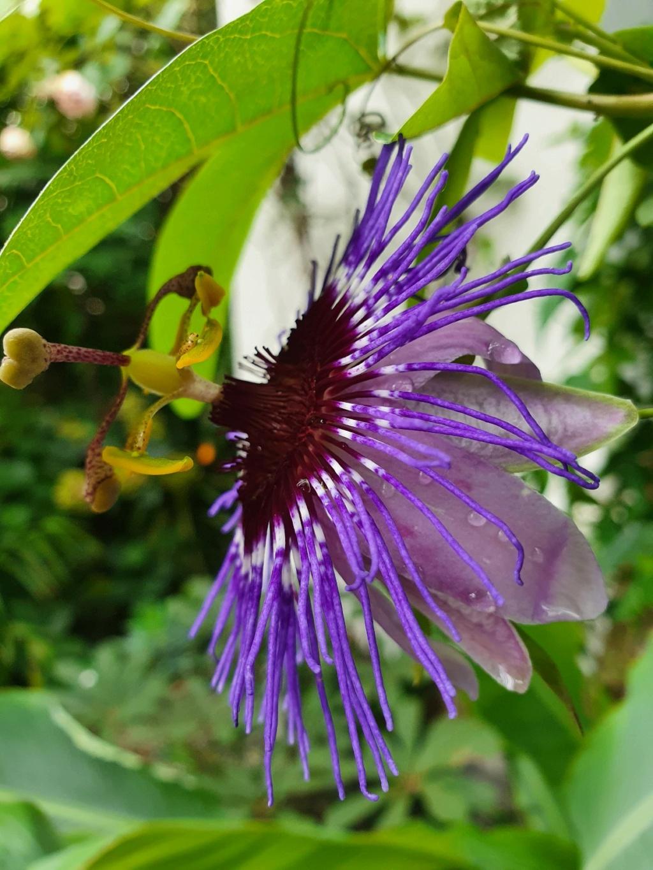Passiflora 'Purple Haze' - Page 2 20201033