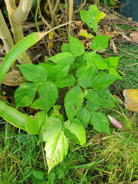 Vigna caracalla =  Cochliasanthus caracalla - Page 3 20201048