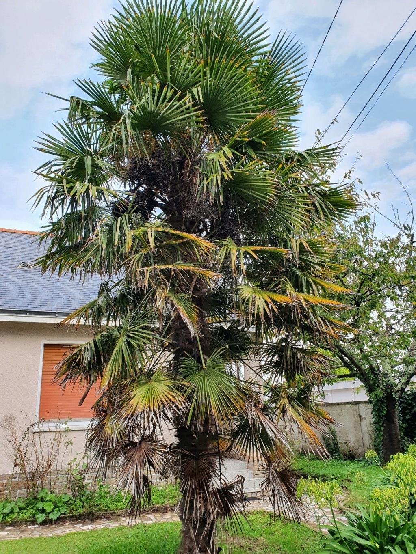 Trachycarpus fortunei - Page 13 20201051