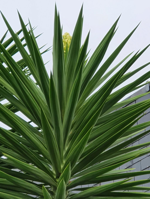 Yucca elephantipes - Yucca gigantea - Yucca guatemalensis - Page 6 20201120